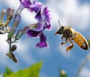 A bee reaching for a flower. Photo: aussiegall/flickr CC